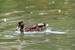 Canard dans l'étang photos stock
