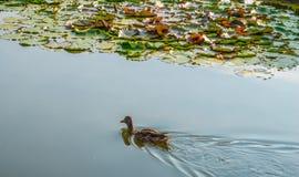 Canard dans l'étang Photographie stock