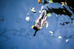Canard dans l'étang image libre de droits