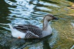 Canard dans l'étang d'eau son heure du repas photo libre de droits