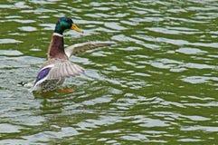Canard dans l'étang de ville Photo libre de droits