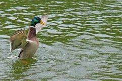 Canard dans l'étang de ville Photos libres de droits