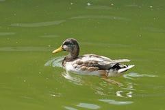 Canard dans l'étang de ville Images stock