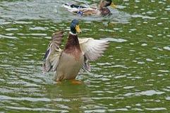 Canard dans l'étang de ville Images libres de droits