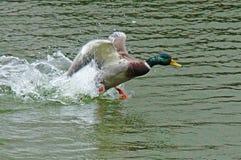 Canard dans l'étang de ville Photo stock