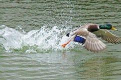Canard dans l'étang de ville Photographie stock libre de droits