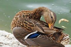 Canard dans l'étang de ville Image stock