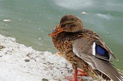 Canard dans l'étang de ville Image libre de droits