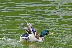 Canard dans l'étang de ville Photographie stock