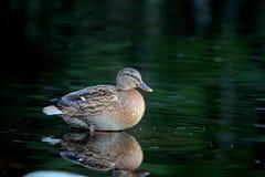Canard dans l'eau photographie stock