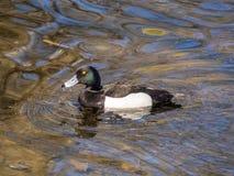 Canard dans l'eau Photo stock