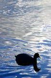 Canard dans l'eau Photographie stock libre de droits