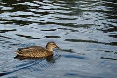 Canard dans l'eau de lac Photos stock