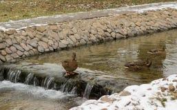 Canard dans la crique d'hiver Photo stock