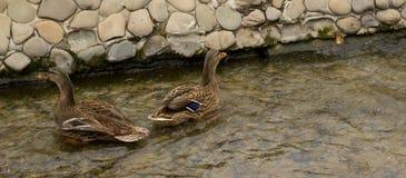Canard dans la crique d'hiver Photographie stock