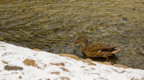 Canard dans la crique d'hiver Images libres de droits