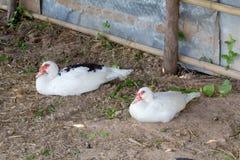 Canard dans la ferme Image libre de droits