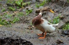 Canard dans la ferme Photographie stock