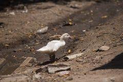 Canard dans la ferme de nature Photo stock