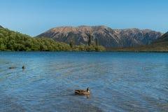 Canard dans la gamme de montagne de Pearson de lac au passage du ` s de Pearson Arthur de lac Image stock