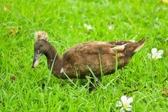 Canard dans la pelouse Photos libres de droits