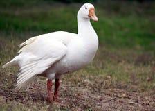 Canard dans le domaine d'herbe Images stock