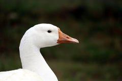 Canard dans le domaine d'herbe Photographie stock libre de droits