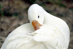 Canard dans le domaine d'herbe Photos stock