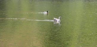 Canard dans le lac Image libre de droits