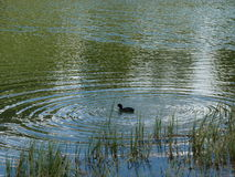 Canard dans le lac Photos stock