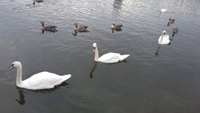 Canard dans le lac Images stock