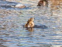 Canard dans le lac en nature photo stock