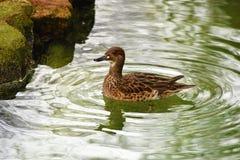 Canard dans le zoo Photographie stock