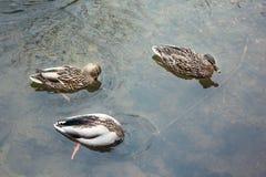Canard dans trois étapes de posture photo stock