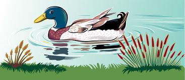 Canard dans un étang illustration libre de droits