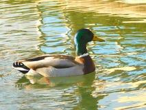 Canard dans un canal Images libres de droits