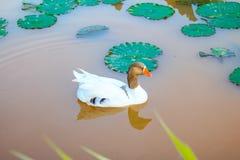 Canard dans un lac Photographie stock