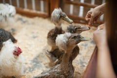 Canard de alimentation à la ferme Images libres de droits