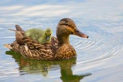 Canard de bébé Image libre de droits