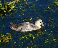 Canard de bébé dans le lac Photo libre de droits