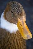 Canard de Brown Photo libre de droits