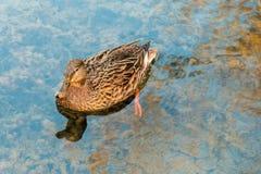 Canard de Brown en rivière Images stock