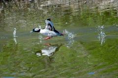 Canard de Bufflehead Photos libres de droits