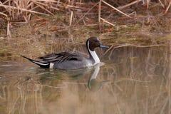 Canard de canard pilet Images stock