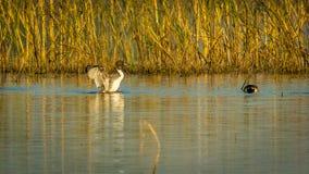 Canard de canard pilet de danse Image stock