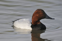 Canard de Canvasback Images stock