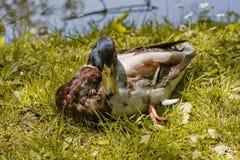 Canard de colvert Photos libres de droits