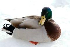 Canard de colvert Photographie stock