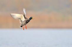 Canard de colvert Photo stock