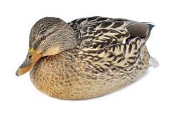 Canard de colvert Photo libre de droits